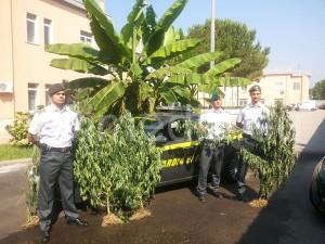 sequestro-piante-cannabis-indica-albanella-luglio-2013-vivimedia